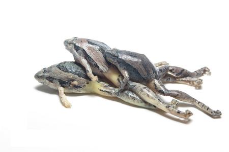 frog isolated on white background photo