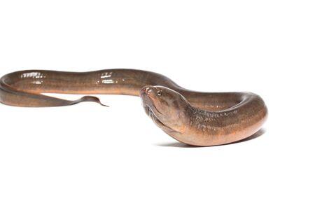freshwater: Eel. Freshwater eels