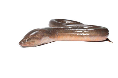Fresh thailand eel on white background