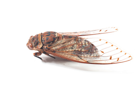 jhy: cicada insect isolated on white background
