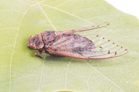 cicada bug: cicada insect isolated on leaf