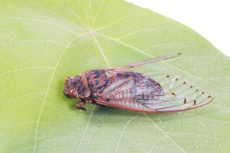 cigarra: cigarra insectos aislado en la hoja
