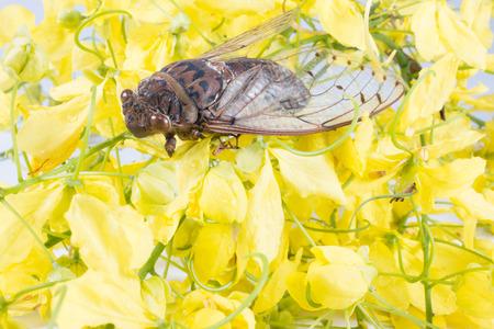 cicada bug: Cicada on a Flower royal Stock Photo