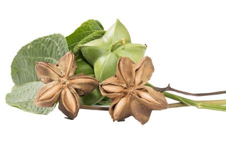 volubilis: Plukenetia volubilis, commonly known as sacha inchi, sacha peanut