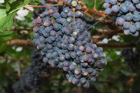 cropland: Grapevines with Bunches of Grapes