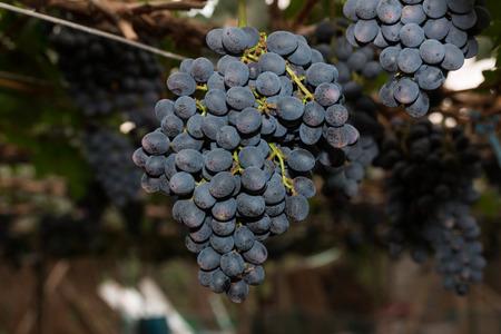 bounty: Parras con racimos de uvas