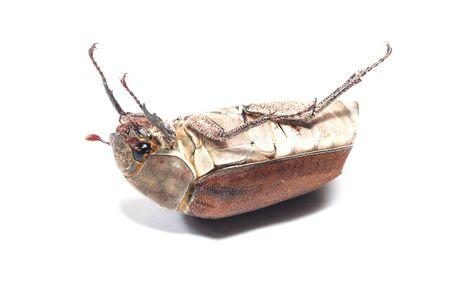 scarabaeidae: Female Rhinceros BeetleUnicorn Beetle isolate on white
