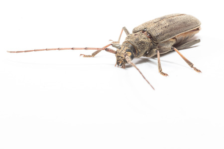 long horn beetle: the beetle with long horn isolate on white Stock Photo