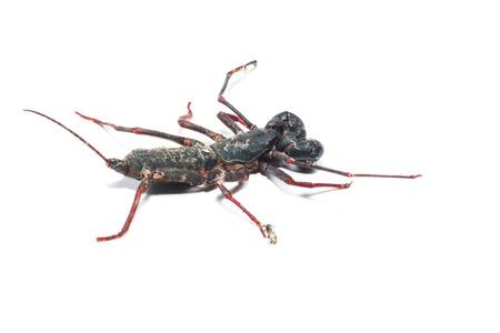 stinking: Close up of whip scorpion or vinegarroon Mastigoproctus giganteus on white background