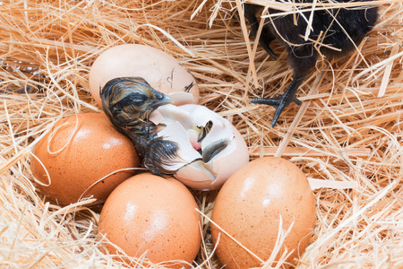 hatchling: Newly born chick lying beside its brown egg