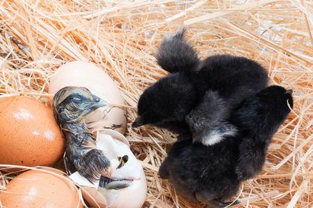 helpless: Helpless little chick still wet after hatching