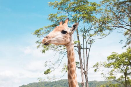 ugandan: giraffe on a farm in Thailand