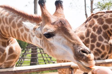 animal head giraffe: giraffe on a farm in Thailand