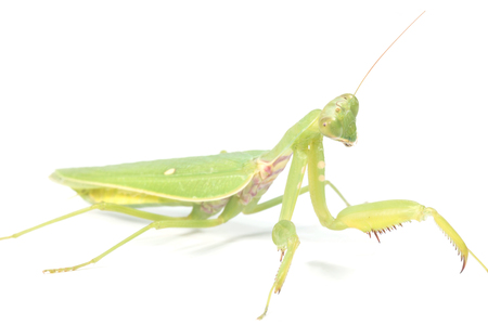 predatory insect: the mantis isolated on white