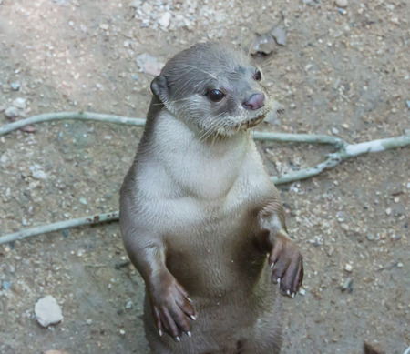 small clawed: curious otter in the zoo