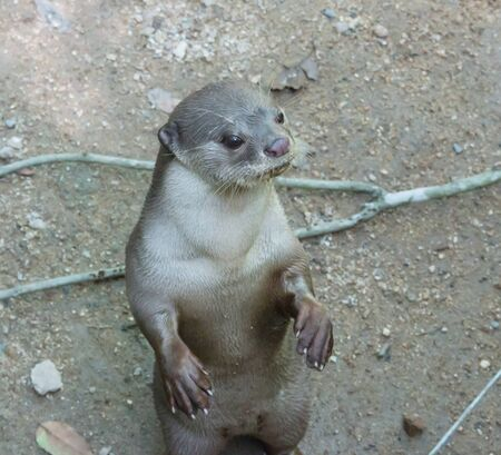 aonyx: curious otter in the zoo