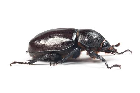 oryctes: Rhinceros Beetle,Unicorn Beetle isolate on white Stock Photo