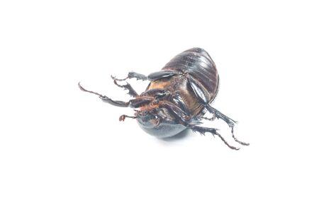scarabaeidae: Rhinceros Beetle,Unicorn Beetle isolate on white Stock Photo