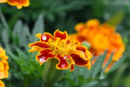 african marigold: Marigolds Tagetes erecta, Mexican marigold, Aztec marigold, African marigold