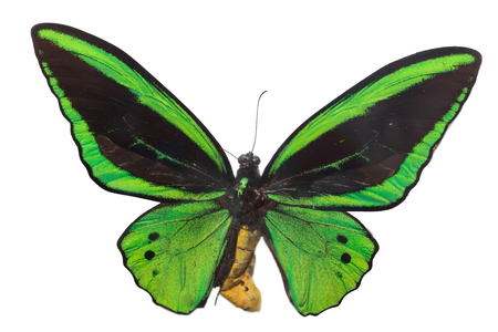 wing span: The beautiful green butterfly isolated on white background Stock Photo