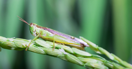 grasshoppers: Grasshoppers on green leaf rice