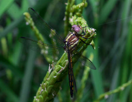 dragonfly: Dragonfly - Beautiful dragonfly on green leaf rice