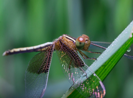dragonfly: Dragonfly - Beautiful dragonfly on green leaf rice