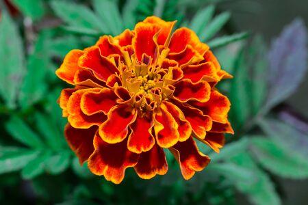 african marigold: orange Marigolds Tagetes erecta, Mexican marigold, Aztec marigold, African marigold in the garden
