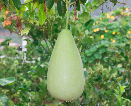 flowered: gourd, Calabash gourd, Flowered gourd, White flowered gourd, fruit and trees in the garden