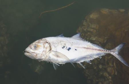 dead fish: Dead fish in the sea