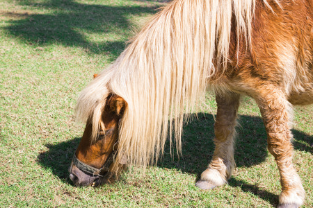 enano: caballo enano granja en Tailandia