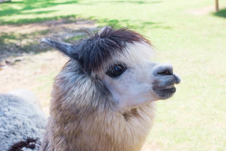 alpaca: Alpaca in Thailand farm