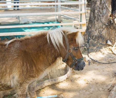 dwarf: dwarf horse in Thailand farm