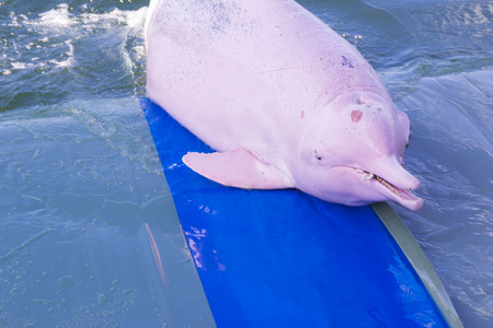 pink dolphin: pink dolphin Stock Photo