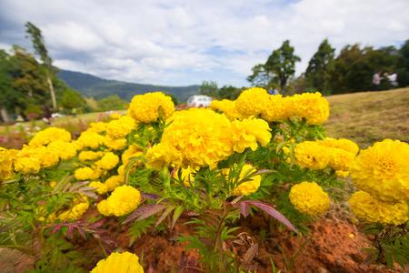 wedding flowers: Marigolds Tagetes erecta, Mexican marigold, Aztec marigold, African marigold