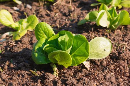 indent: cauliflower in the Vegetable garden