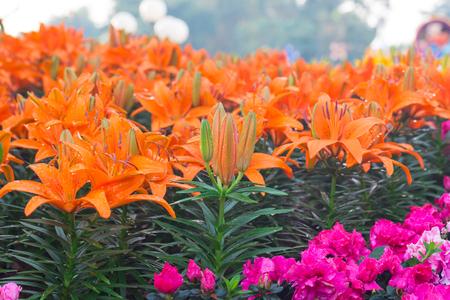 orange lily: Orange lily flower close up Stock Photo