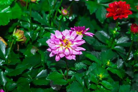 dalia: Colorful dahlia flower in garden