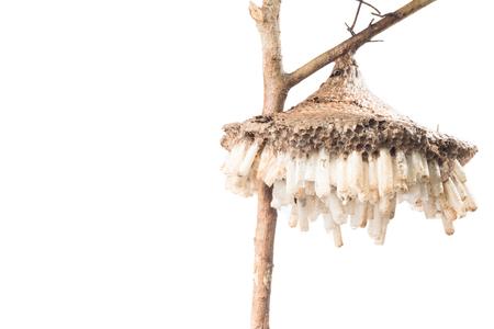 vertex: wasps nest isolate on white Stock Photo