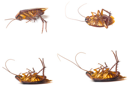 nuisance: Dead cockroaches isolate white background