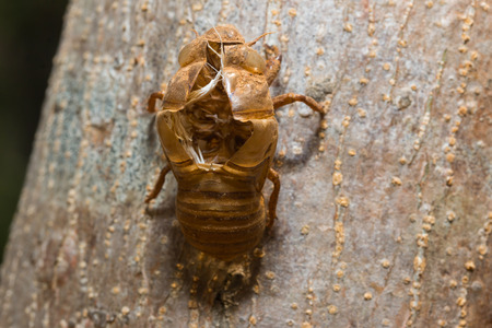 molting: slough off, molt of cicada,insect molting