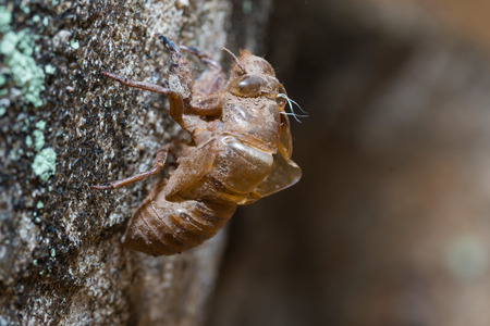 slough: slough off, molt of cicada,insect molting