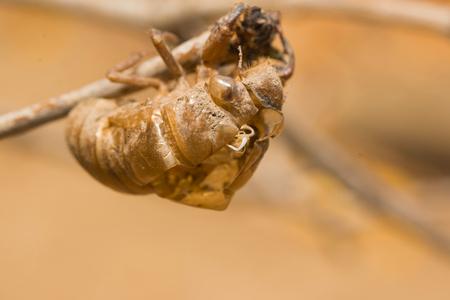 cicada bug: slough off, molt of cicada,insect molting