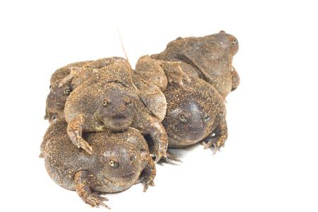 bullfrog: The thailand bullfrog on white