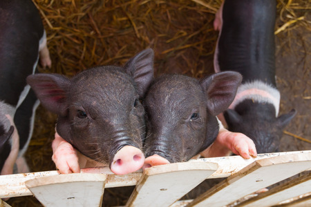 pigsty: piggy are in the pigsty Stock Photo