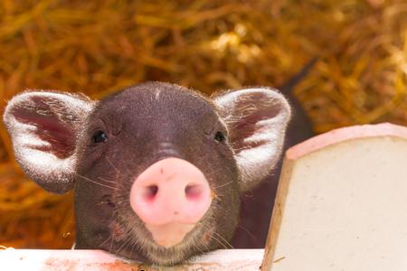 swine flu vaccine: piggy are in the pigsty Stock Photo