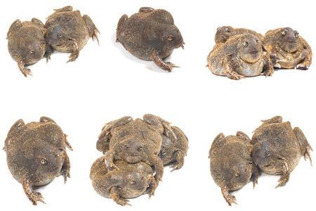 bullfrog: bullfrog on white Stock Photo