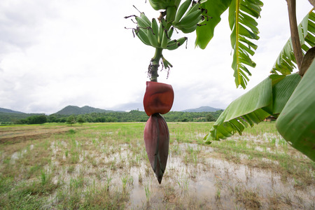 kerala culture: banana blossom and bananas bunch on Rice field background