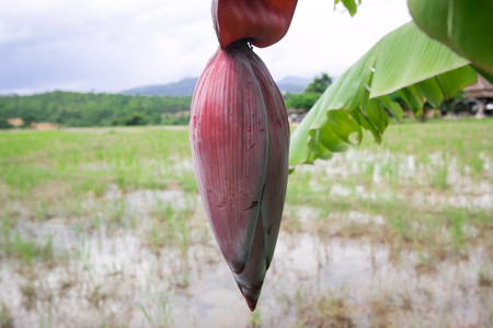 epidermis: banana blossom and bananas bunch on Rice field background