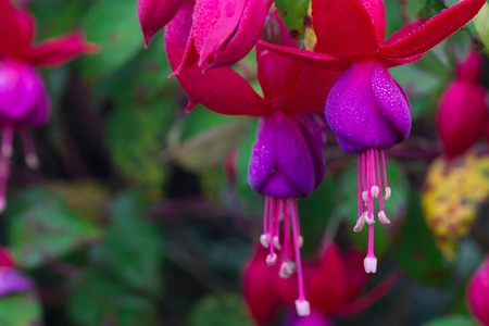 ramification: beautiful flower fuchsia in garden
